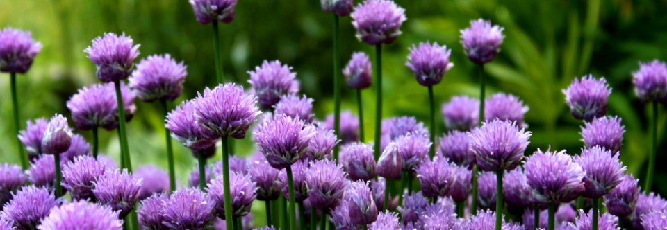 Featured Slider – Purple Flowers